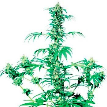 EARLY GIRL REGULAR (SENSI SEEDS) - Sensi Seeds - Seed Banks
