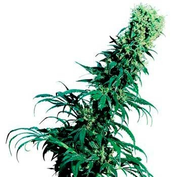 EARLY PEARL REGULAR (SENSI SEEDS) - Sensi Seeds - Seed Banks