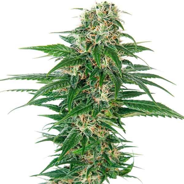 Early Skunk Auto - Sensi Seeds - Seed Banks