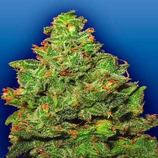 Edelweiss - 5 seeds - Flying Dutchmen - Seed Banks