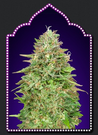 Critical Poison Fast Version - 5 seeds - 00 Seeds - Seed Banks