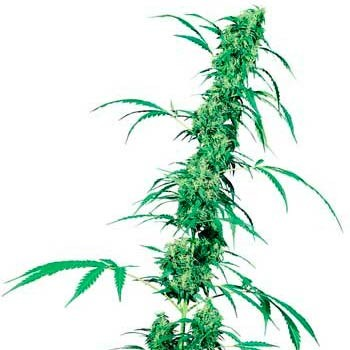 FRUITY JUICE REGULAR (SENSI SEEDS) - Sensi Seeds - Seed Banks
