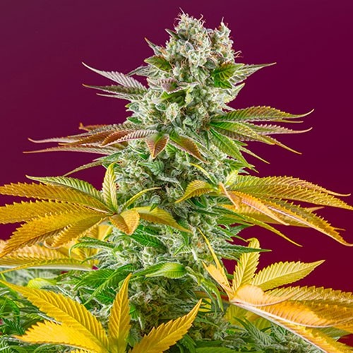 Gorilla Girl F1 Fast Version - Sweet Seeds - Seed Banks