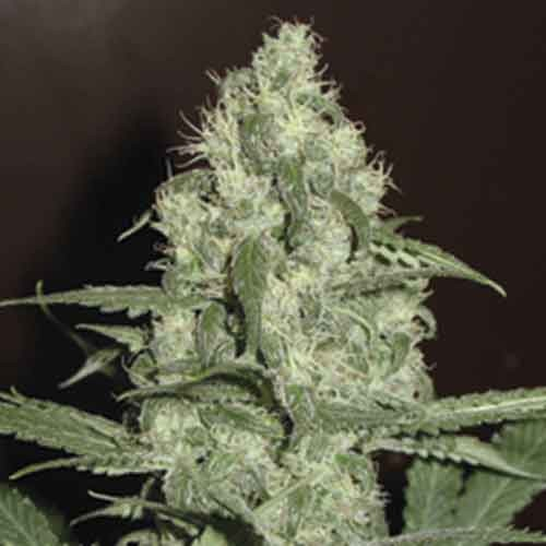 Homegrown Cheese -  5seeds - Fantaseeds - Seed Banks