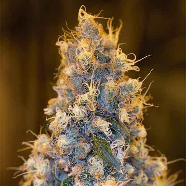 Blue Fire - Humboldt Seeds - Seed Banks