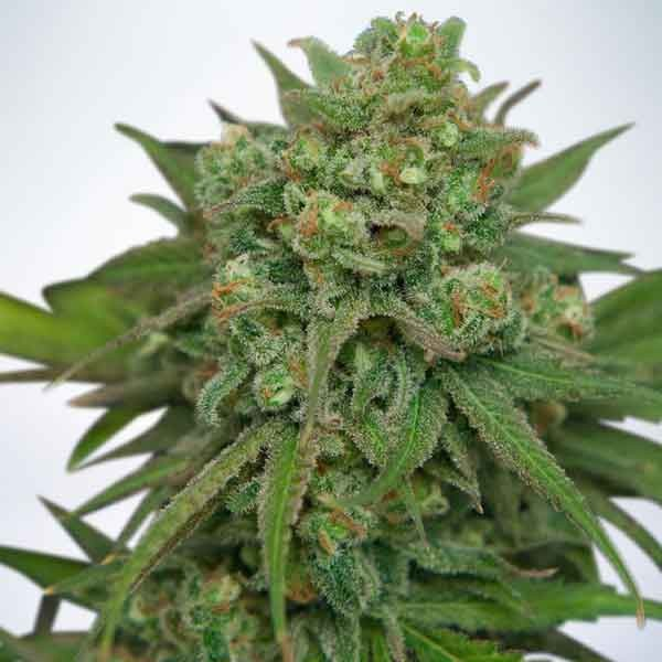 Instakush - Ministry of Cannabis - Seed Banks