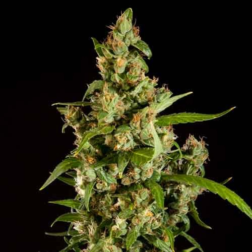 Jamaican Blueberry BX Regular - Philosopher Seeds - Seed Banks