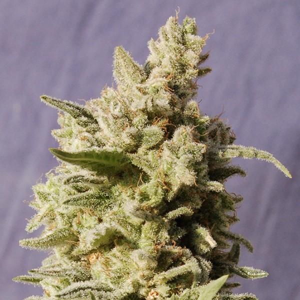 Mataro Blue - Kannabia - Seed Banks