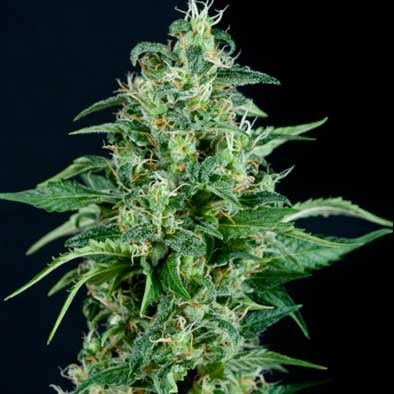 AUTO KRYPTONITE - Pyramid Seeds - Seed Banks
