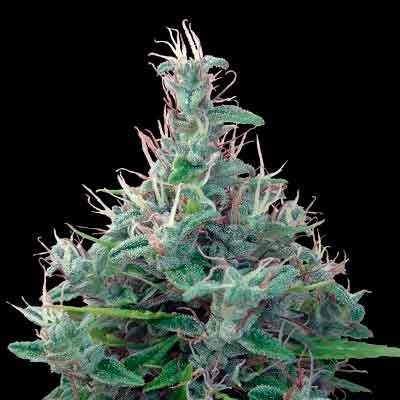 Libano Standard Regular - 5 seeds - Ace Seeds - Seed Banks
