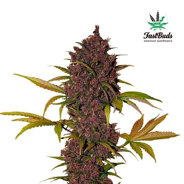 LSD-25 - FastBuds - Seed Banks