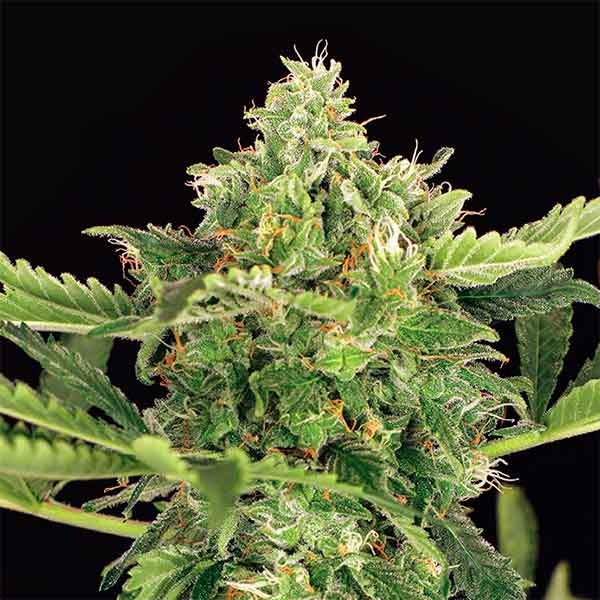 MANGO CREAM AUTO - Exotic Seed - Seed Banks