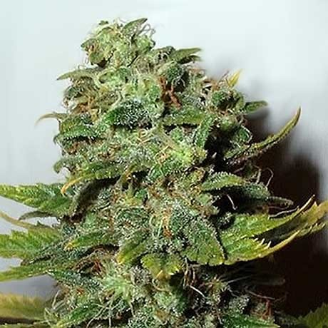 Mango Skunk Fem 5 Seeds - Nirvana - Seed Banks