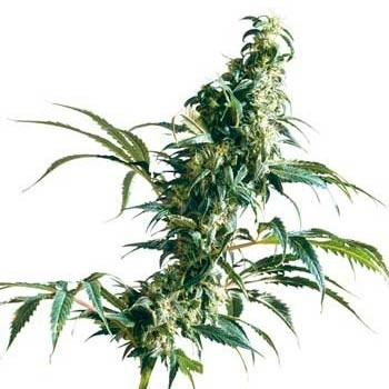 Mexican Sativa Fem - Sensi Seeds - Seed Banks