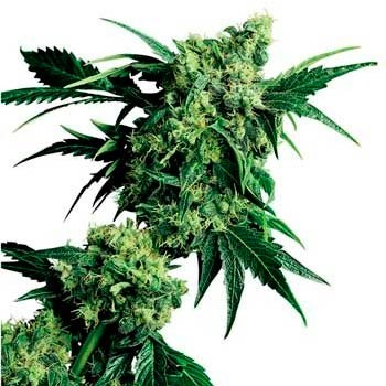 MR. NICE G13 X HASH PLANT REGULAR (SENSI SEEDS) - Sensi Seeds - Seed Banks
