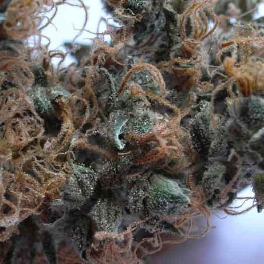 Nl5 X Haze  - 15 Seeds - Mr. Nice - Seed Banks
