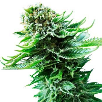 Northern Lights Automatic (Sensi Seeds) - Sensi Seeds - Seed Banks