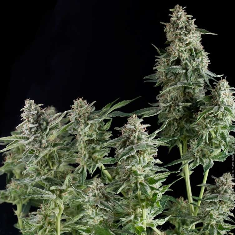 NORTHERN LIGHTS - Pyramid Seeds - Seed Banks