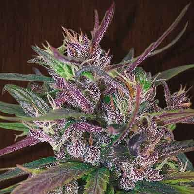 Oldtimer's Haze - 5 seeds - Ace Seeds - Seed Banks