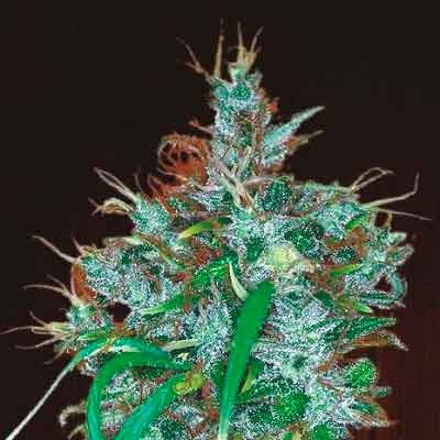 Panama Haze  - Ace Seeds - Seed Banks