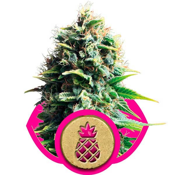Pineapple Kush - Royal Queen Seeds - Seed Banks