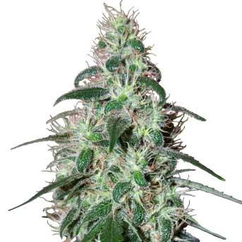 PULSAR - Buddha Seeds - Seed Banks