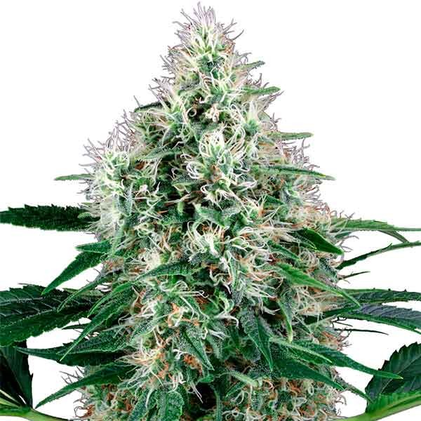 Pure Power Plant Automatic - Sensi White Label - Seed Banks