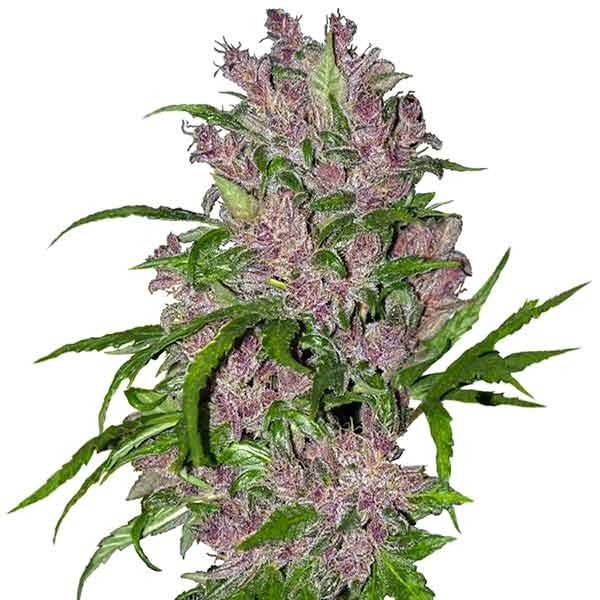 Purple Bud Automatic - Sensi White Label - Seed Banks