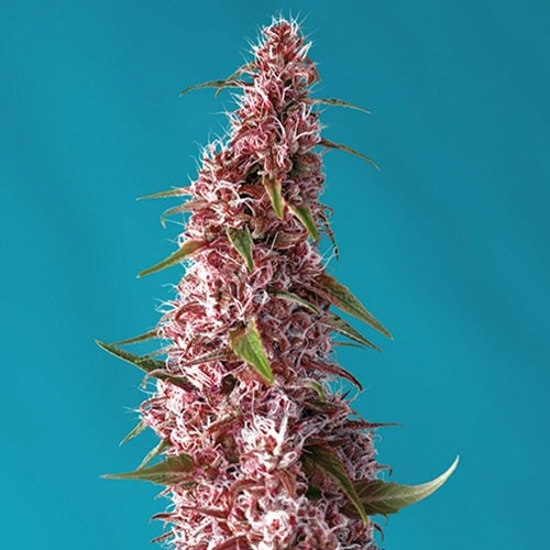 Red Pure Auto CBD - Sweet Seeds - Seed Banks