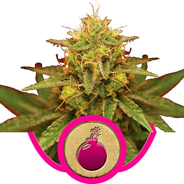 Royal Domina - Royal Queen Seeds - Seed Banks