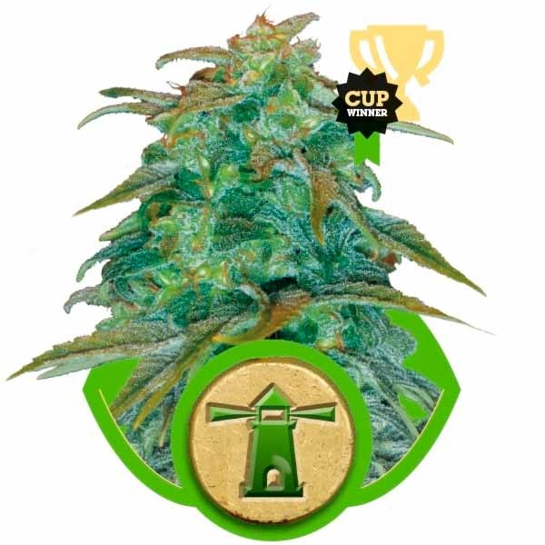 ROYAL HAZE AUTOMATIC - Royal Queen Seeds - Seed Banks