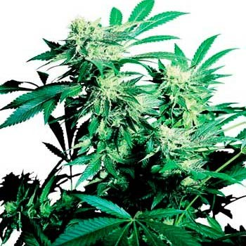 SKUNK KUSH REGULAR (SENSI SEEDS) - Sensi Seeds - Seed Banks