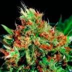 Slyder - 5 seeds - Sagarmatha - Seed Banks