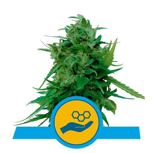 Solomatic CBD - Royal Queen Seeds - Seed Banks