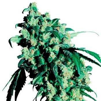 SUPER SKUNK REGULAR (SENSI SEEDS) - Sensi Seeds - Seed Banks