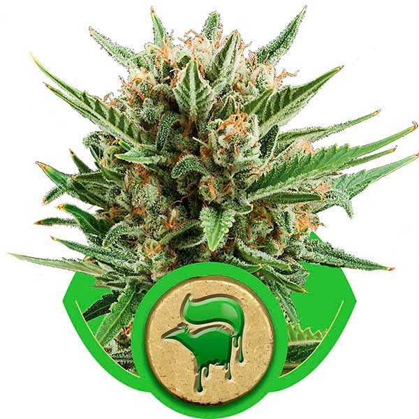 Sweet Skunk Automatic - Royal Queen Seeds - Seed Banks