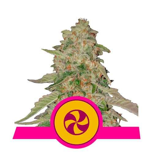 Sweet Zkittlez - Royal Queen Seeds - Seed Banks