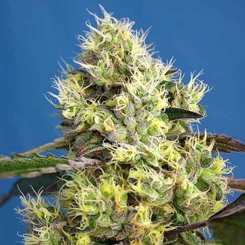 Sweet Gelato Auto - Sweet Seeds - Seed Banks