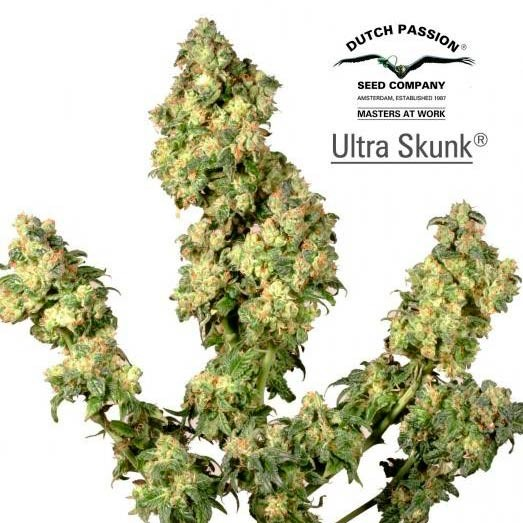 Ultra Skunk - Dutch Passion - Seed Banks