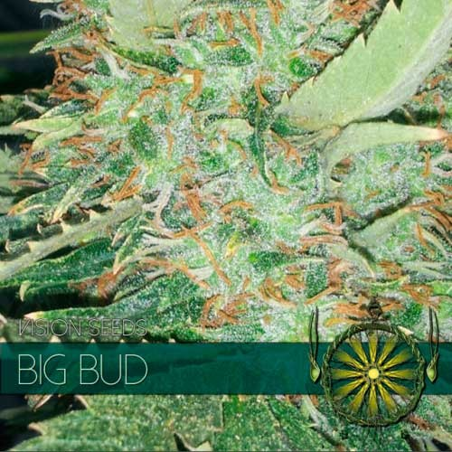 BIG BUD - Vision Seeds - Seed Banks