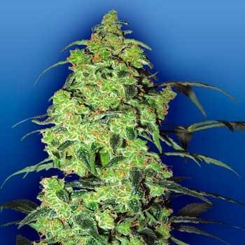 White Widow - 5 seeds - Flying Dutchmen - Seed Banks