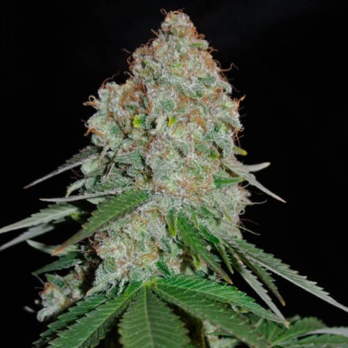 White Widow Original - 3 seeds - Sumo Seeds - Seed Banks